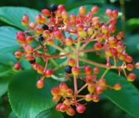 viburnum-sieboldii2.jpg