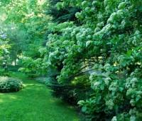 viburnum-sieboldii.jpg