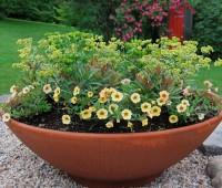 euphorbia-big-bowl