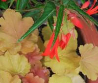 heuchera-caramel-with-bonfire-begonia