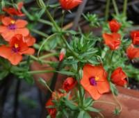 may-30-anagallis-wildcat-mandarin