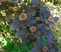 physocarpus-diablo.jpg