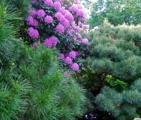 umbrella-pine-with-rhodie.jpg