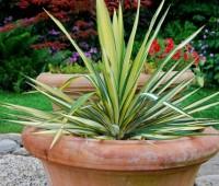 yucca-color-guard-in-pot