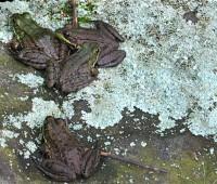 4-little-frogs