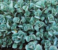 blue-sedum