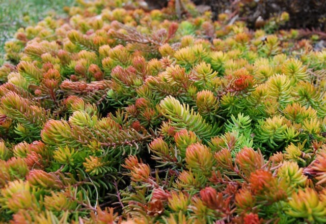 Happily Ever After In A Sea Of Sedum Way To Garden