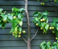asian-pear-in-fruit