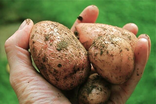 Fresh-dug early red-skinned potatoes