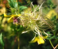clematis-seedheads