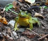 fall-frog-with-lips
