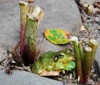 frog-in-petasites