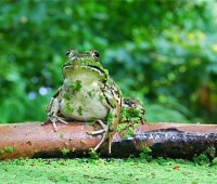 frog-on-lip-of-trough