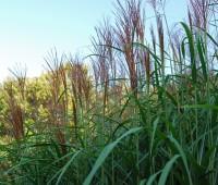 grass-flowerheads
