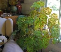 marmaduke begonia