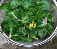 pak-choi-harvest