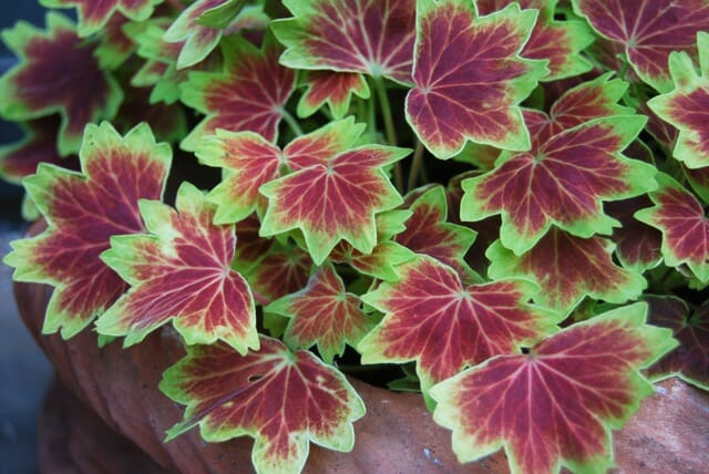 brrrr! overwintering tips for tender plants - A Way To Garden