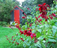 shed-with-salvia