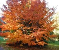 acer-pseudosieboldianum-tree