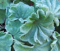 frosted-alchemilla