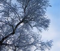 birch-in-snow