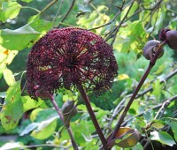 angelica-gigas-aug-20