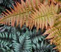 colorful-ferns