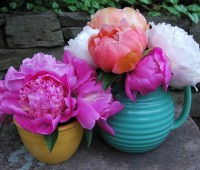 peony-time-june-5