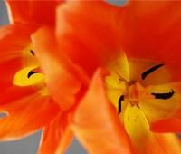 tulip-april-25