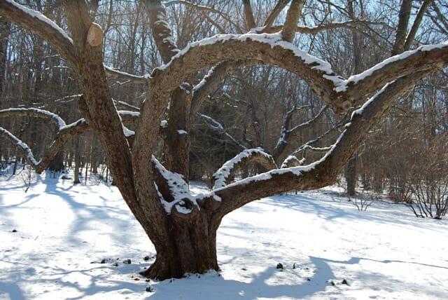 Century-old apple tree pruned