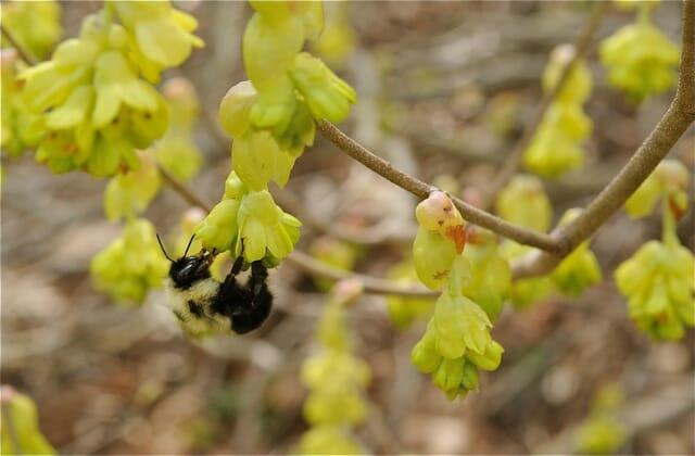 bumblebee in corylopsis