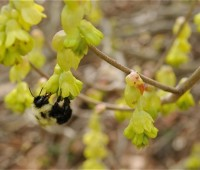 bumblebee-in-corylopsis