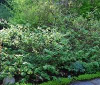 corylopsis-spicata-shrub