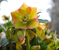 hellebore porn: a fast look at 2010's bloomers