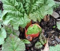 rhubarb-up