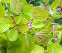 corylopsis-spicata-aurea-detail