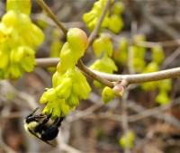 corylopsis-with-bee-2