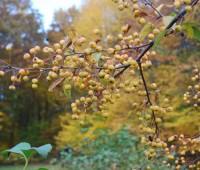 crabapple-malus-bob-white-in-fruit