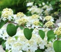 doublefile-viburnum-flowers