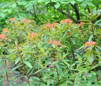 euphorbia-griffithii-dixter-stand