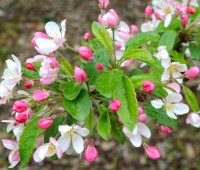flowers-of-crabapple-bob-white