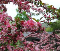 flowers-of-crabapple-candy-mint