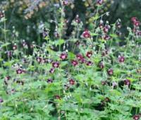 flowers-of-geranium-phaeum