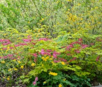 gold-heart-dicentra-and-kerria