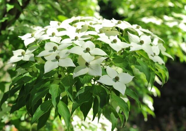 kousa blooms