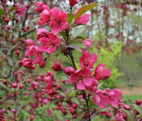 prairifire-crabapple-flowers