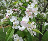 ralph-shay-crabapple-flowers