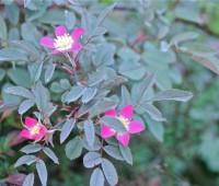 rosa-glauca-detail