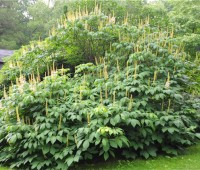 aesculus-growing-back