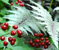 baneberry-and-fern